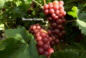 fresh red  table grape - product's photo