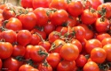 high quality fresh tomato for sale - product's photo