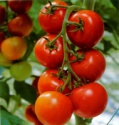 fresh indian tomatoes - product's photo