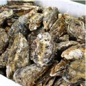 from pollution-free sea korean tongyeong fresh live oyster(whole shell - product's photo