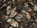 salable fresh abalone - product's photo