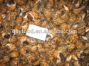 frozen tiger snail iqf - product's photo