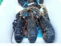 scottish live blue lobster (european) - product's photo