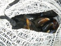 live scottish mussels - product's photo