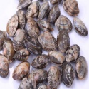 vacuum frozen cooked clam with shell from china - product's photo
