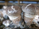 organic shiitake; lentinula edodes, we have shiitake planting base - product's photo