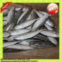 iqf freezing process and mackerel variety frozen round scad fish - product's photo