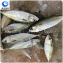 wholesale frozen fish indian mackerel whole round - product's photo
