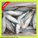 fresh frozen indian mackerel whole round with mackerel fish factory  - product's photo