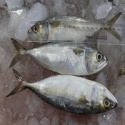igh quality frozen fish whole round indian mackerel seafood - product's photo