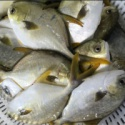 new arrival frozen round golden pomfret - product's photo