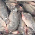 da tilapia fish - product's photo