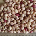 light speckled kidney beans agricultural products spanish - product's photo