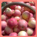 from china sweet fresh huaguan apple fruit by hand - product's photo