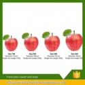 export fresh red delicious apple fruit fresh apple best price fuji app - product's photo