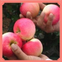 best price!!! fresh red gala apple for sale - product's photo