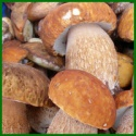 wholesale price wild raw iqf boletus edulis quarter slice - product's photo