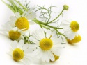 dried chamomile, premium quality dried herbs, health tea ingredients - product's photo