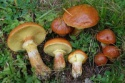wild ecologically perfect yellow boletus mossiness mushroom - product's photo
