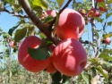 new crop fruits bulk red fuji apple price - product's photo