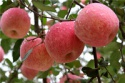 fiji apples - product's photo